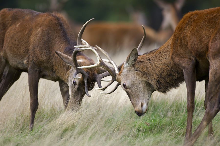 [B]Arturo De Frias – Wildlife Photography[/B]: Red Deer Stags Throughout Louisiana Deer Rut Dates