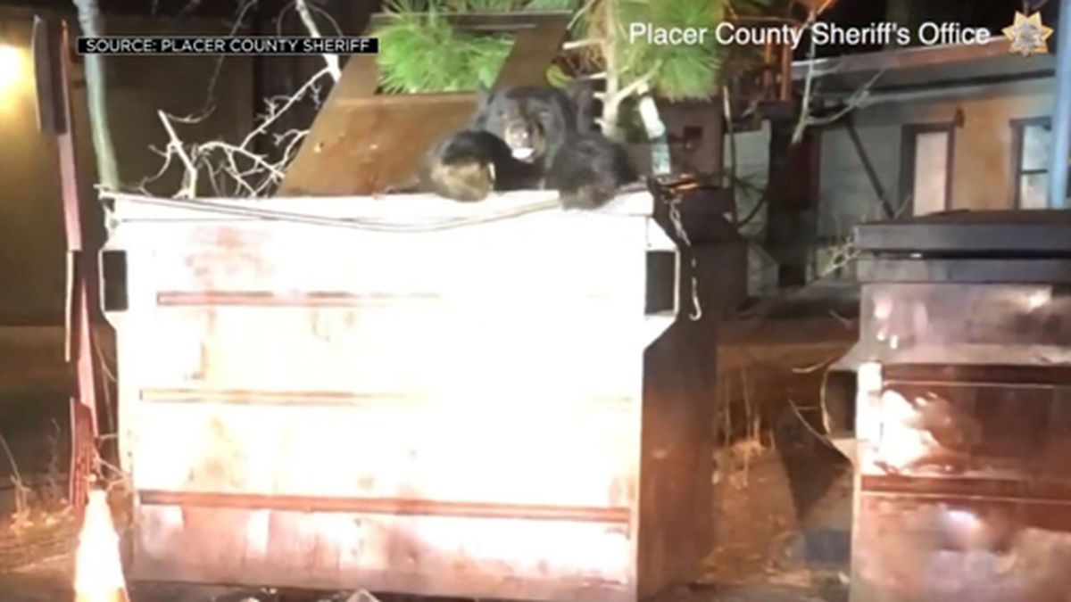 California Deputies Help Dumpster Diving Bear Escape Intended For Placer County Court Calendar